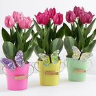 Tulip Bulb Butterfly Trio
