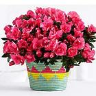 All Across Africa Planter with Hot Pink Azalea