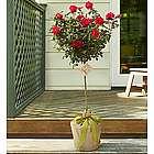 Rose Tree for Sympathy