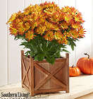 Point Pelee Fall Mum in Wood Planter