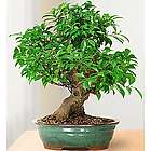 Golden Gate Ficus 10 Year Specimen Bonsai Tree