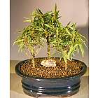 3 Small Willow Leaf Ficus Bonsai Trees