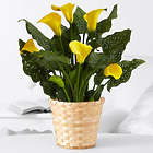 Potted Yellow Calla Lily Basket