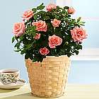 Potted Miniature Pink Rose Bush for Mom
