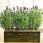 Modern Lavender Trio in Wooden Window Box