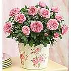 Classic Large Budding Rose Plant
