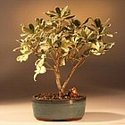 Japanese Mock Orange Bonsai Tree