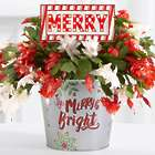 Light Up Merry Marquee Christmas Cactus
