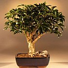 Hawaiian Umbrella Tree Bonsai - Large