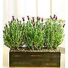 Lavender Plant Window Box Planter