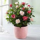 Small Elegant Bicolor Rose Garden