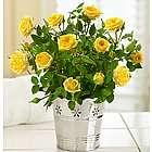 Elegant Rose Plant