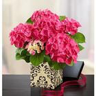 Romantic Pink Hydrangea Plant