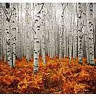 Maine White Birch Trees Aluminum Photo Panel