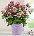 Lavish Lavender Live Rose Plant