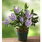 Miss Kim Korean Lilac Plant