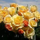 Sunny Sky Rose Bush