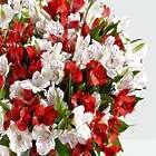 Candy Cane Peruvian Lilies Bouquet