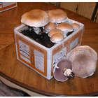 Portabella Mushroom Garden Kit