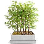Dawn Redwood Bonsai Forest Seed Kit