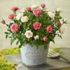 Summer Garden Rose Plant