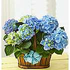 Hydrangea Double Bloomer Basket