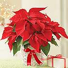 Poinsettia Plant in Wicker Basket