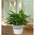 Peaceful Peace Lily Plant