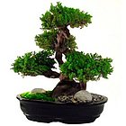 "Monterey 20"" Bonsai Tree"