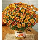 Pumpkin Patch Mum Plant