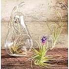 Triple Tillandsia Terrarium