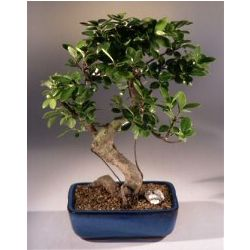 Large Curved Trunk Golden Coin Bonsai Tree