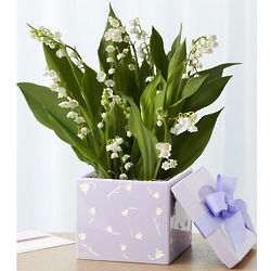 Fragrant Lily of the Valley Bulb Garden