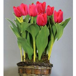 Red Tulip Flower Bulb Gift Basket