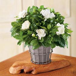 New Gardenia Plant in Rustic Flowerpot