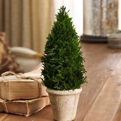 Preserved Cypress Topiary
