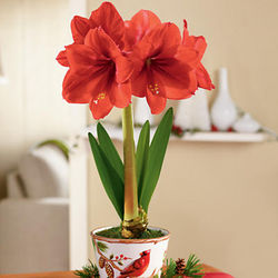 Holiday Amaryllis Bulb in CeramicCardinal Planter