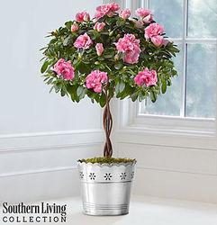 "Large 24"" Braided Azalea Topiary"