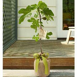 Fig Tree for Sympathy