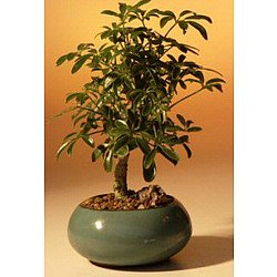 Hawaiian Umbrella Tree - Small