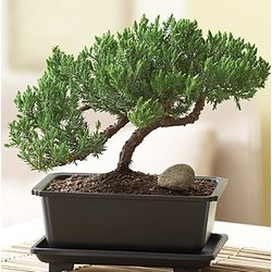 Green Mound Juniper Bonsai Tree