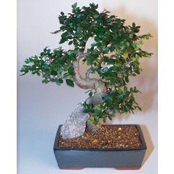 Extra Large Chinese Elm Bonsai Tree