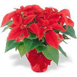Popular Poinsettia Plant