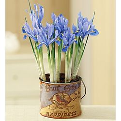 Blue Bird Iris in Vintage Tin