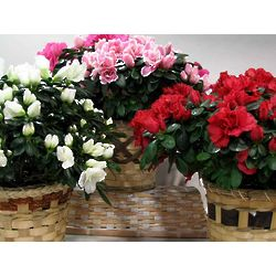 Pink, Red, or White Azaleas in a Basket