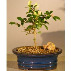 Small Flowering Lavender Star Flower Bonsai Tree