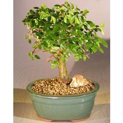 Straight Trunk Chinese Elm Bonsai Tree