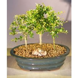 Three Flowering Tropical Boxwood Bonsai Trees