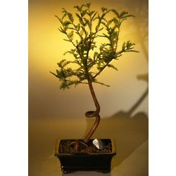 Bald Cypress Bonsai Tree with Coiled Trunk