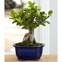 Gensing Grafted Ficus Bonsai